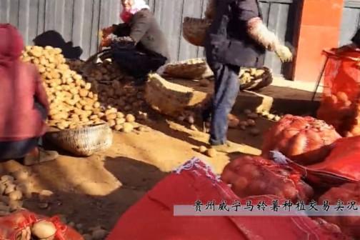 贵州威宁马铃薯采挖交易实录 ()