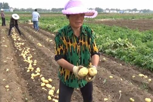 访问马铃薯之乡--山东滕州(1)之喜获丰收 ()