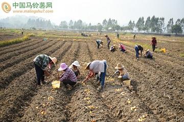 兴业:农户忙种冬马铃薯