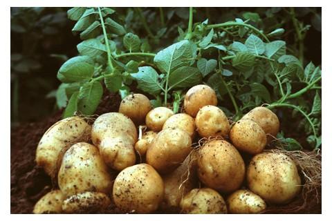大量供应优质荷兰十五土豆 ()