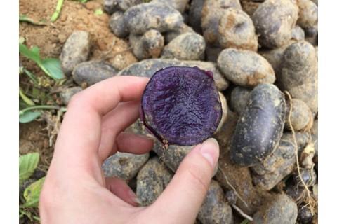 求购黑土豆 ()