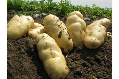 大量求购加工用薯 ()