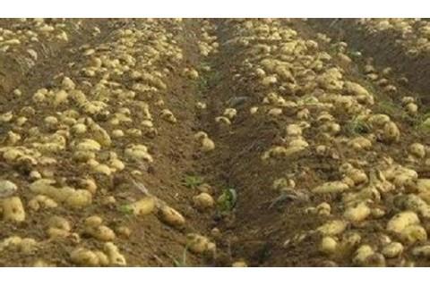 代销、代办讷河脱毒马铃薯种子 ()