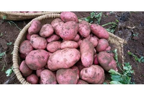 常年代收青薯9号 ()
