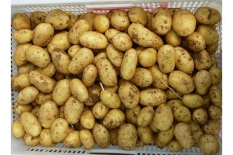 大量求购大西洋土豆 ()