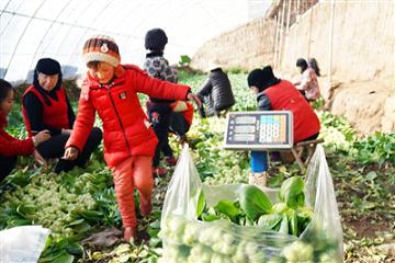 """西宁市新庄镇:特色蔬菜让农民有""""干劲"""" ()"""