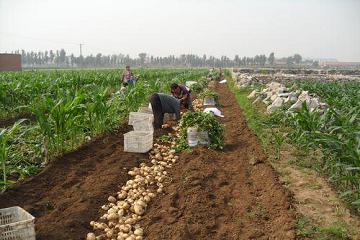 2017马铃薯迎来发展机遇  每亩补助100元 ()