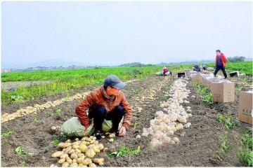 惠东县:鲜薯上市创造反季节效益 ()