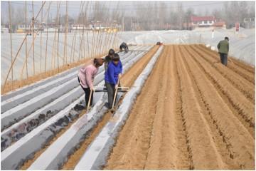 滕州市:三膜马铃薯种植完毕 ()