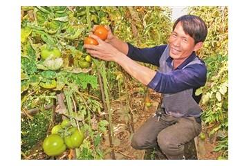 云南石屏县:冬早熟蔬菜为民创富增收 ()