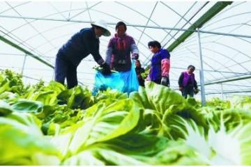 大棚蔬菜喜获丰收 ()