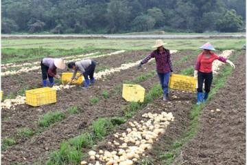 广东阳东区:马铃薯采购完成 亩产2000公斤 ()