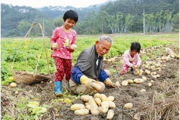 广西容县新土豆获丰收 产量较去年大增 ()