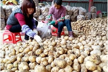 """福建龙海新薯上市 成农民致富""""金蛋"""" ()"""