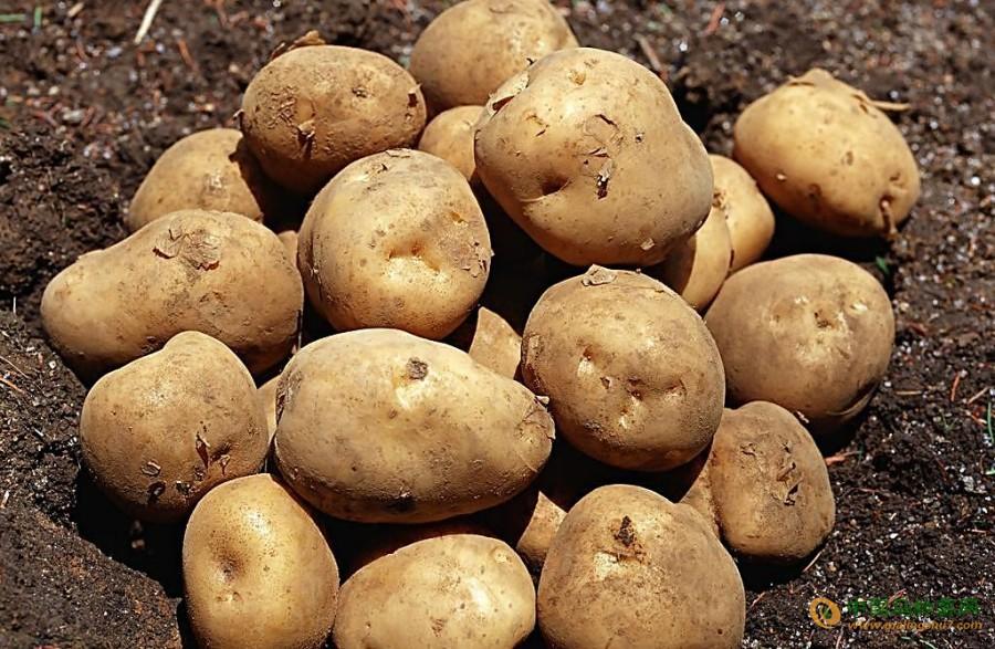 大量土豆出售,价格你做主 ()