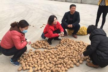 内蒙包头市:春季种薯接受抽样调查 ()