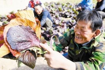 天津市引入紫白菜 长势喜人 ()
