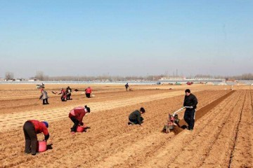 """新疆玛纳斯县:4000亩""""金土豆""""陆续开始播种 ()"""