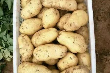 山东荷兰十五土豆产地批发 大棚陆地鲜货批发价格