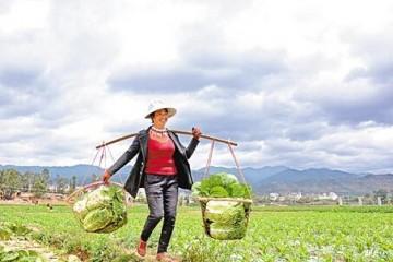 云南大理州:无公害蔬菜助农脱贫 ()