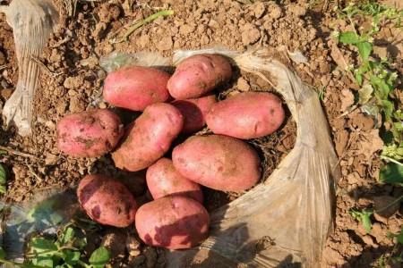 青薯9号马铃薯