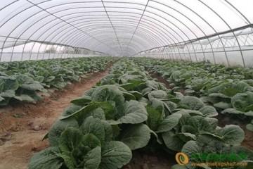 固原隆德县:冷凉蔬菜丰收在望 促农增收 ()