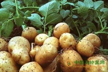甘肃陇西县:带头引领马铃薯产业发展 ()
