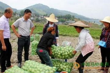 贵州黄平县:早熟马铃薯喜获丰收 ()