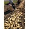 大量供应中薯五号土豆