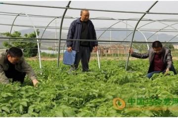 甘肃省武山县:早熟大棚马铃薯丰收在望