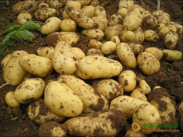 求购7一8吨土豆种子 ()