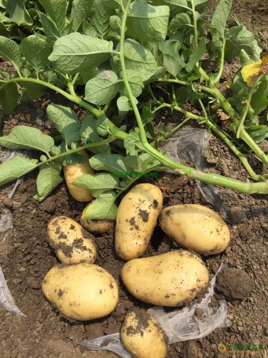 150亩荷兰土豆对外出售 ()