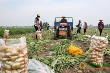 亳州市蒙城县:万亩马铃薯喜获丰收 ()