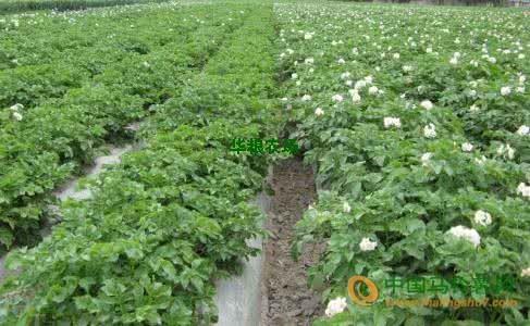 50亩荷兰土豆即将上市! ()