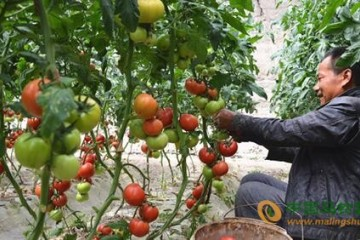 新疆乌什县:无公害蔬菜产业蓬勃发展 ()