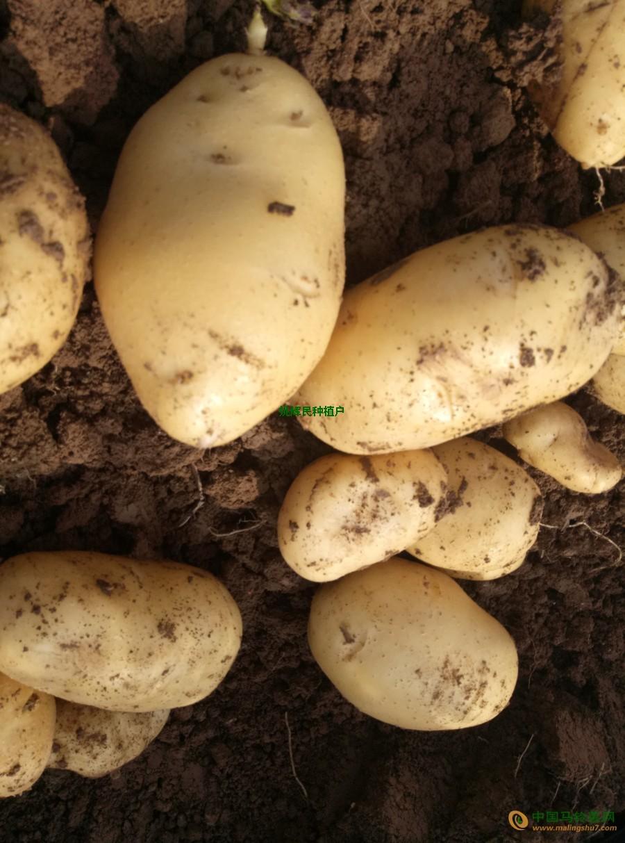 供应土豆 ()