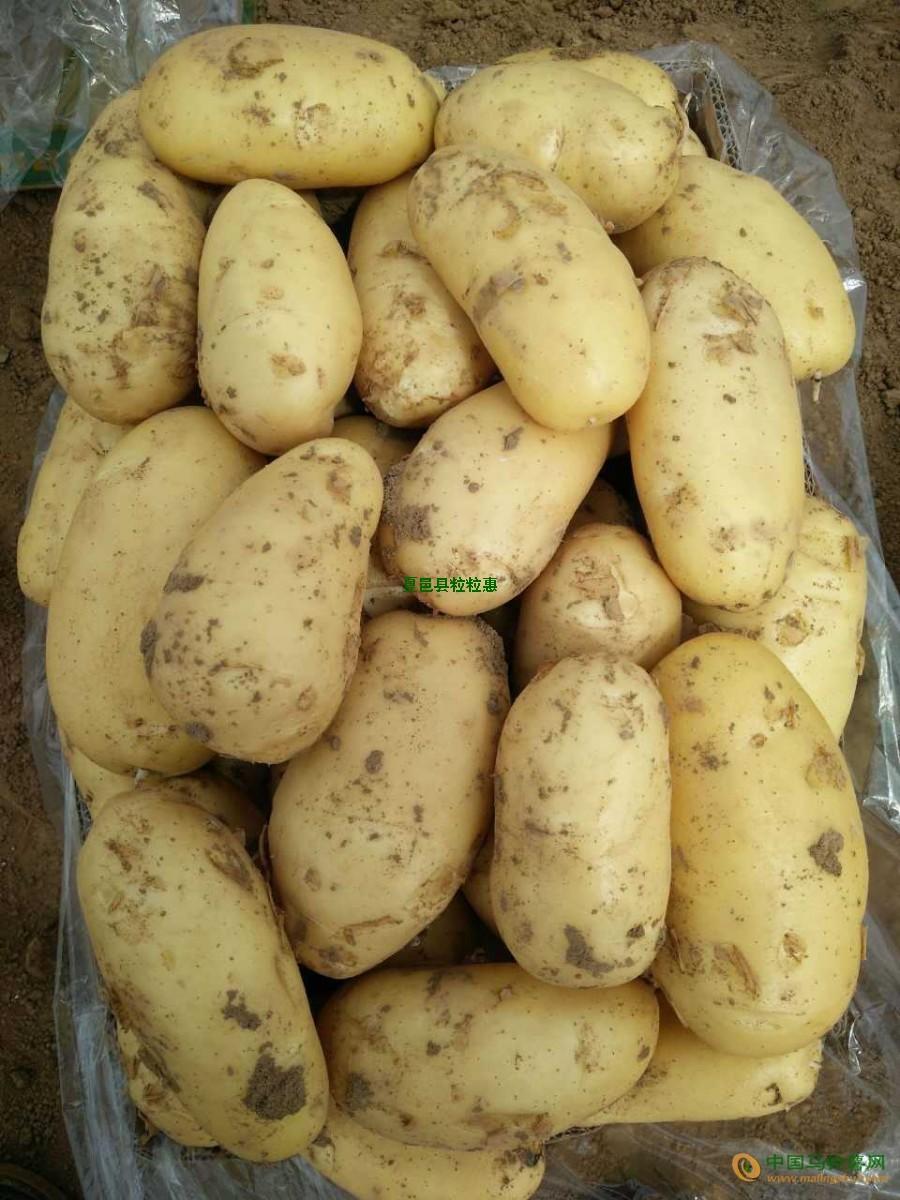 本人出售大量荷兰15土豆 ()
