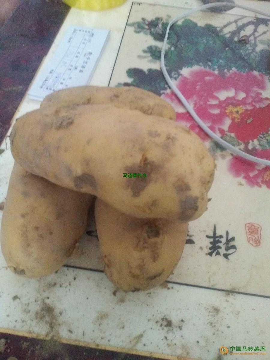 常期供应荷兰十五土豆 ()