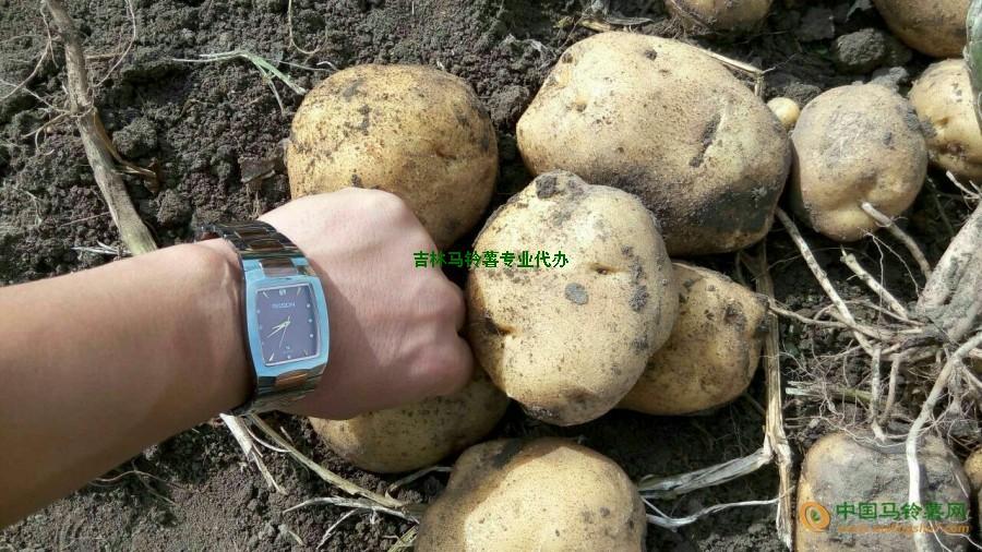 大量供应吉林优质马铃薯 ()