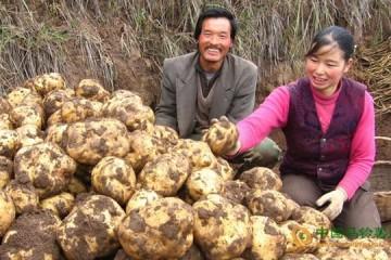 云南乌蒙镇:马铃薯产业带领群众奔小康 ()