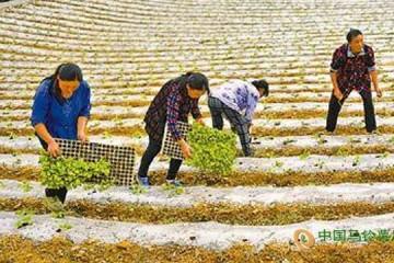 湖北恩施:高山蔬菜成精准脱贫产业 ()