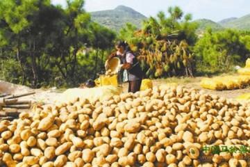 贵州威宁县:马铃薯迎来收购旺季 入市俏销 ()