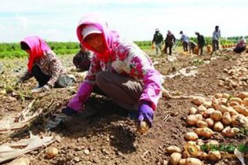 辽宁铁岭:新一季土豆助农增收 ()