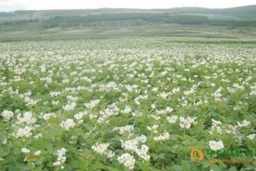 青海班玛县:小小马铃薯助农增收 ()