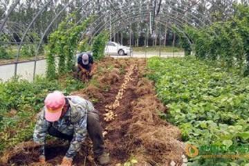 黑龙江虎林市:大棚复种土豆喜获丰收