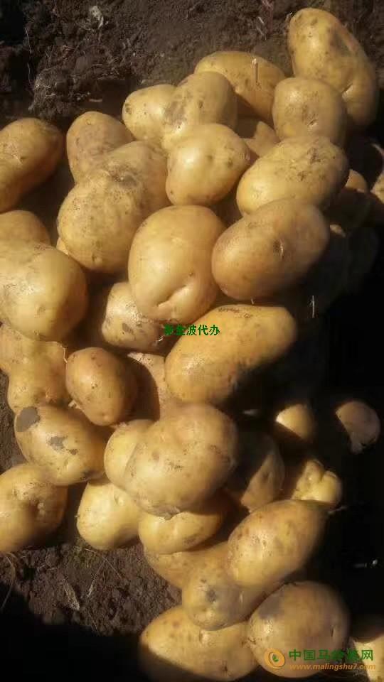 本人供应大量土豆 ()