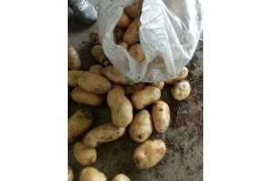荷兰土豆袋装出售