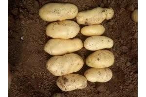 荷兰土豆三两土豆