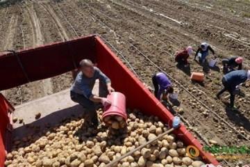新疆乌鲁木齐:马铃薯喜获丰收