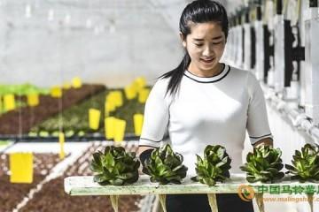 河北永清县:无土水培蔬菜技术引领产业发展 ()